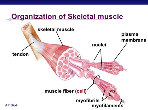 do plants have organized muscle fibers for movement picture 5