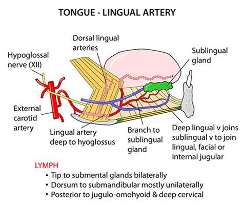 artery in lip picture 7