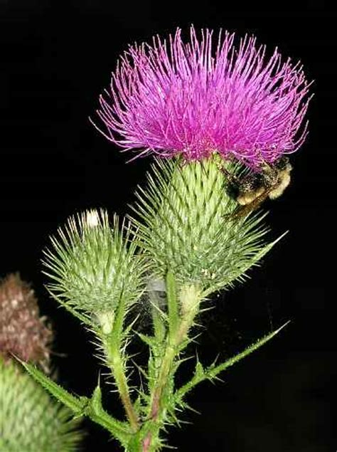 smoke blessed thistle picture 3