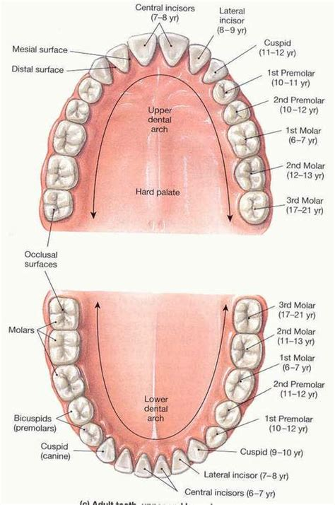 digestion teeth picture 14