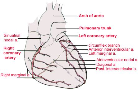 animation of blood flow though heart picture 8