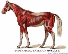 horse muscle system picture 18
