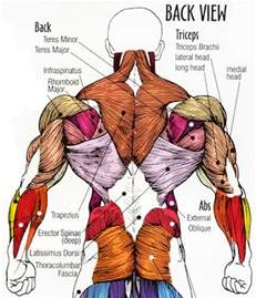 low back muscle charts psoasis muscle picture 1