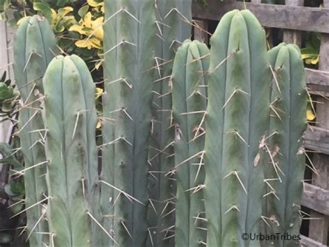 where to buy bolivian torch cactus in st. picture 13