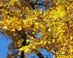 information on the ginkgo tree picture 15