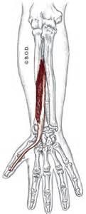 flexor pollicis longus muscle picture 17