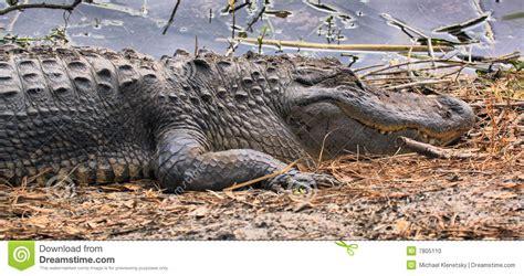 alligators sleep picture 8
