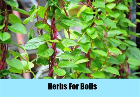 boils herbs picture 1