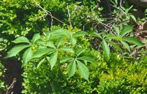 natural plants in virginia that have opiod effects picture 3