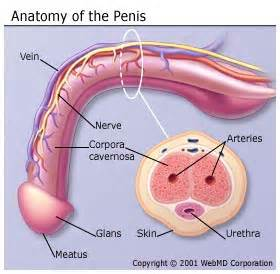 health penis ejaculating inside vagina picture 3