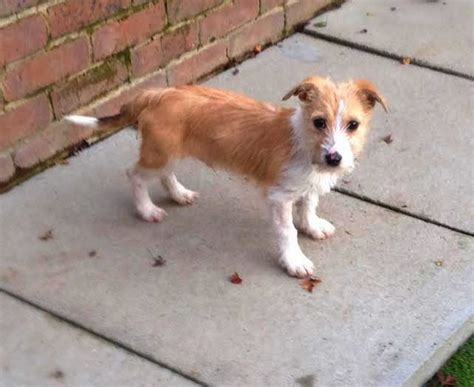 wire hair fox terrier rescue picture 10