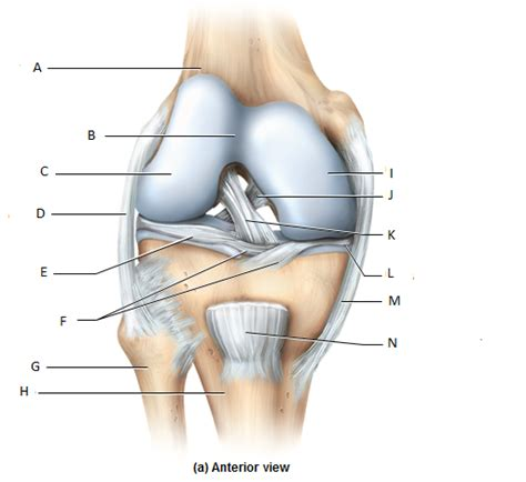 anatomy of a knee joint pictures and labels picture 4