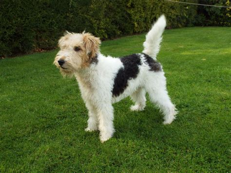 wire hair fox terriers picture 6