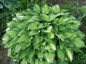 hosta plantain picture 2