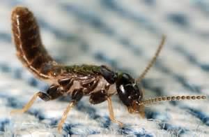 pheromones of termites picture 10
