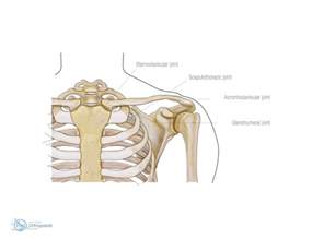 ac joint muscles picture 1