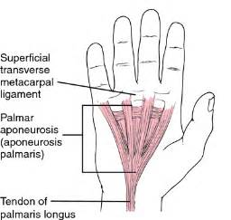 longitudinal muscle definition picture 13