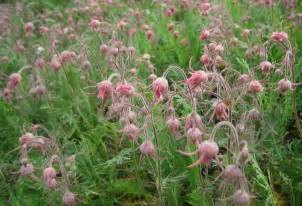 prairie smoke picture 9