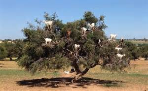 argan tree oil benefits picture 3