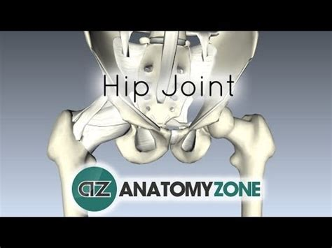 anatomy of hip joint picture 2