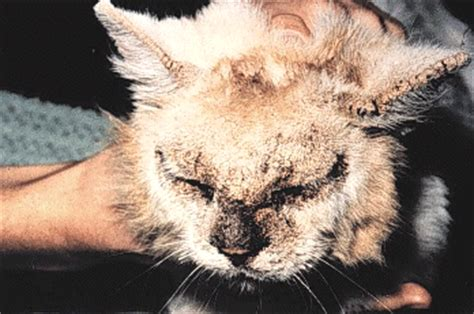 feline hyperthyroidism hair loss picture 10