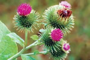 does burdock root increase testosterone picture 6