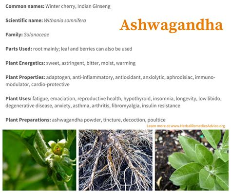 about ayurvedic chilgonzo and its uses picture 15