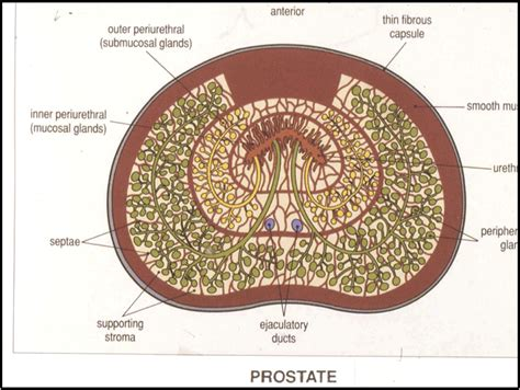 Where is the prostate picture 5