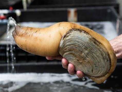 gooey duck clam penis picture 3