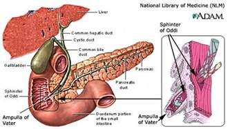 pertaining to the liver picture 6