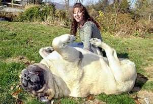 picture of mastiff big penis picture 14