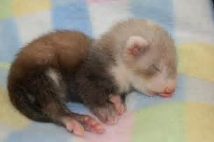 pictures of ferrets sleeping picture 13