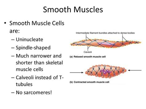 are smooth muscle multinucleated and spindled picture 2