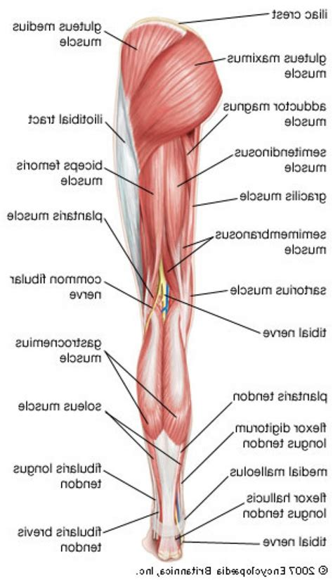 lower body muscle diagram picture 1