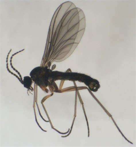 fungus gnat picture 10