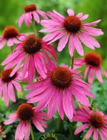 echinacea purpurea picture 3