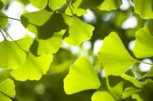 ginkgo picture 1