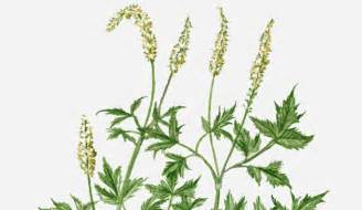 side effects of black cohosh root picture 3