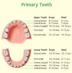 child's teeth chart picture 1