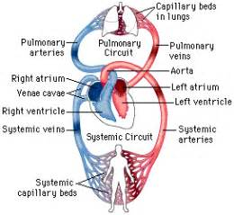blood flow through the body picture 2