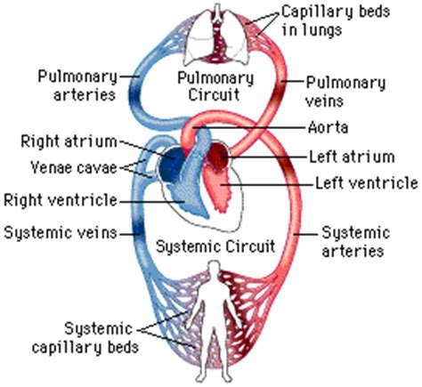 blood flow through the body picture 1