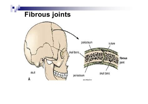 fibrous joint picture 11