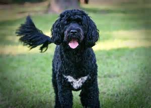portuguese water dogs health picture 10