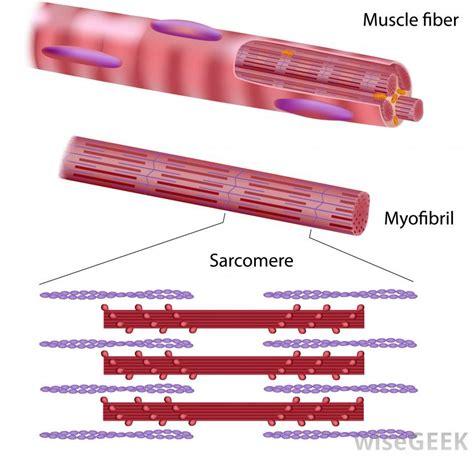 anatomy of skeletal muscle fiber picture 6