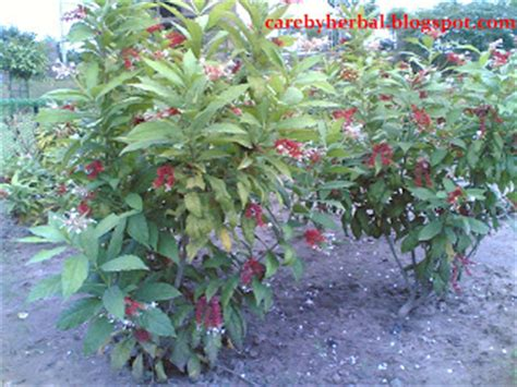 rauwolfia serpentina plant in the philippines picture 11