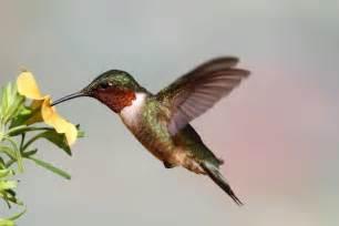 hummingbird diet picture 6