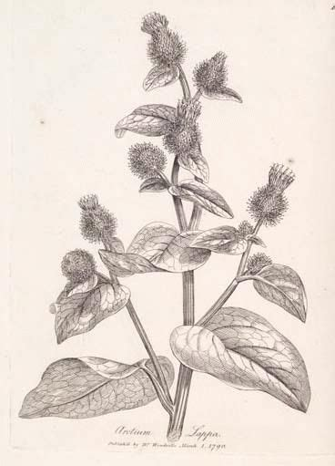 how to make burdock tea for garden use picture 1