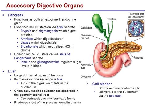 6 digestive accessory organs picture 6