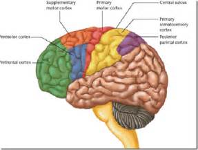 cerebral blood flow motor cortex picture 2