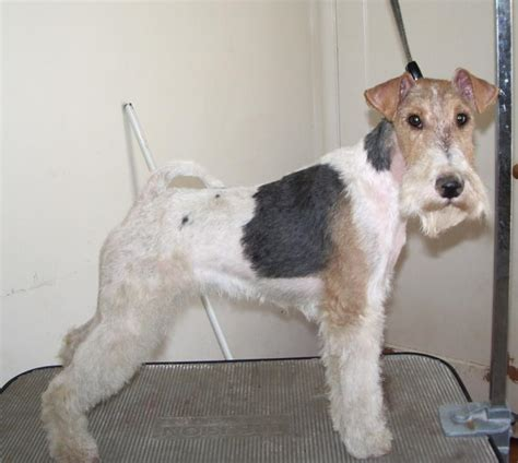 wire hair fox terriers web 9818 picture 11